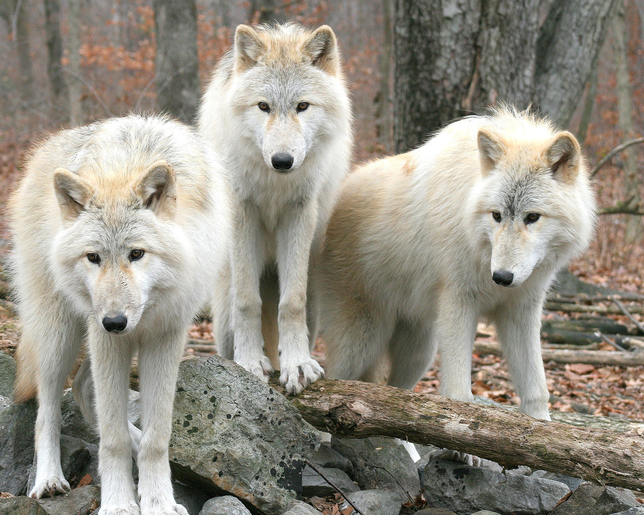 White Wolves in the Forest