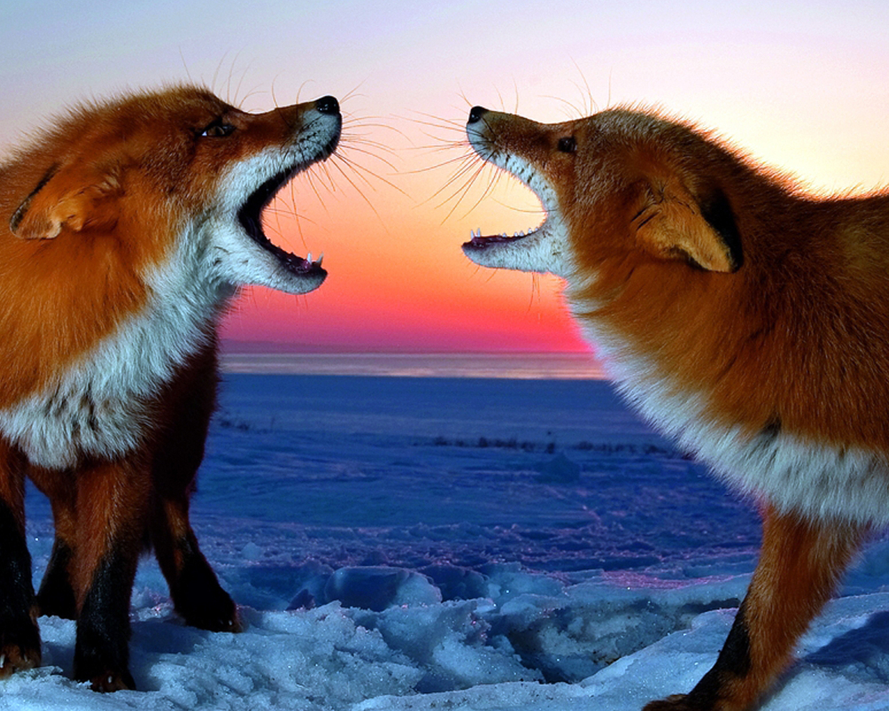 Two Angry Foxes