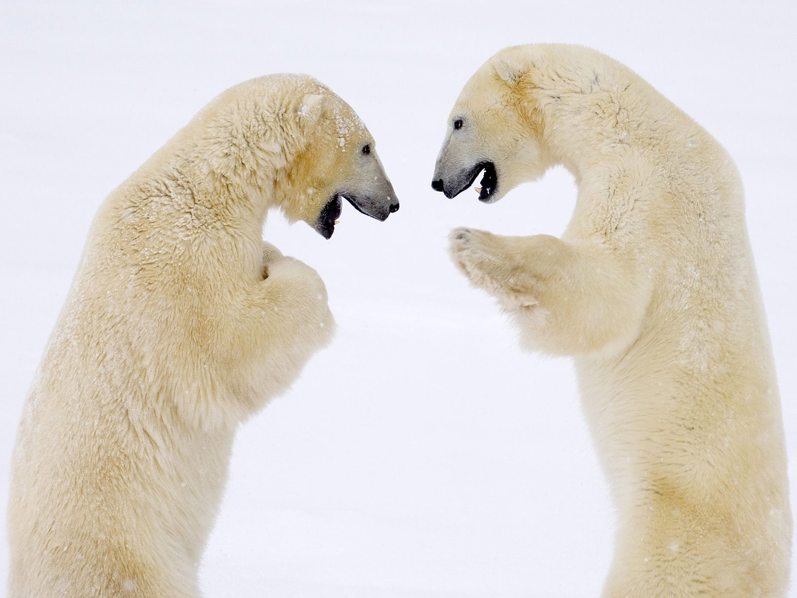 Male Bears Sparring