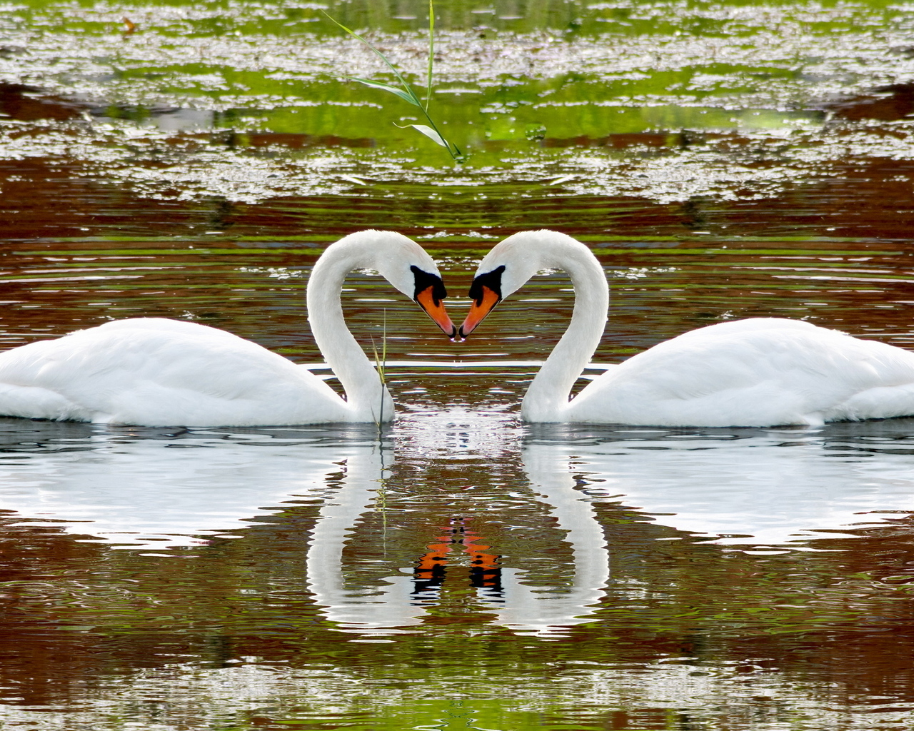 Beautiful swans love