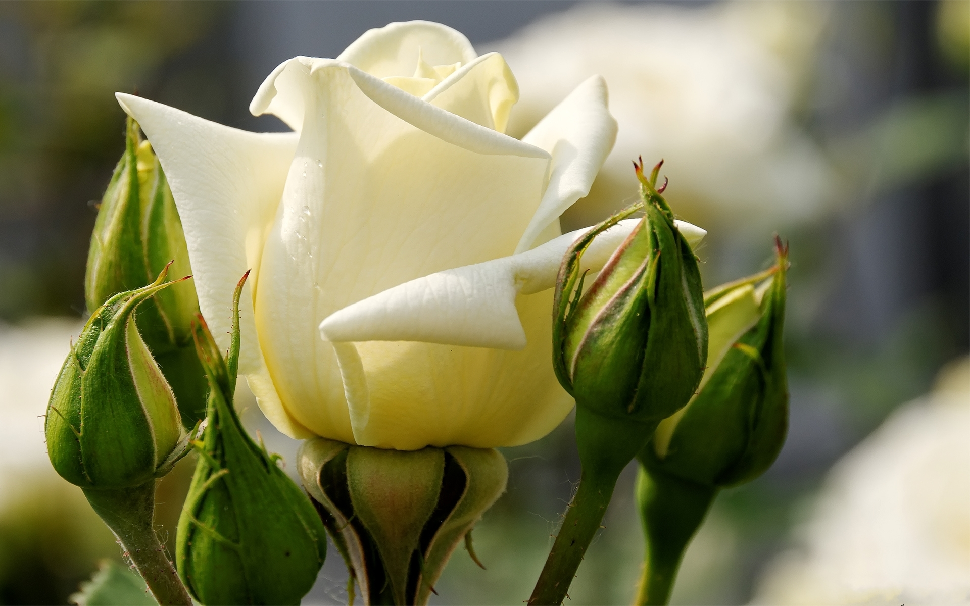 White young rose