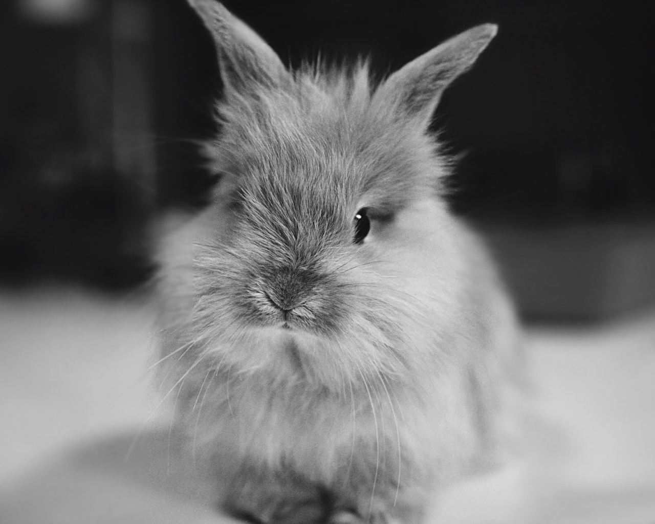lovely-black-and-white-bunny