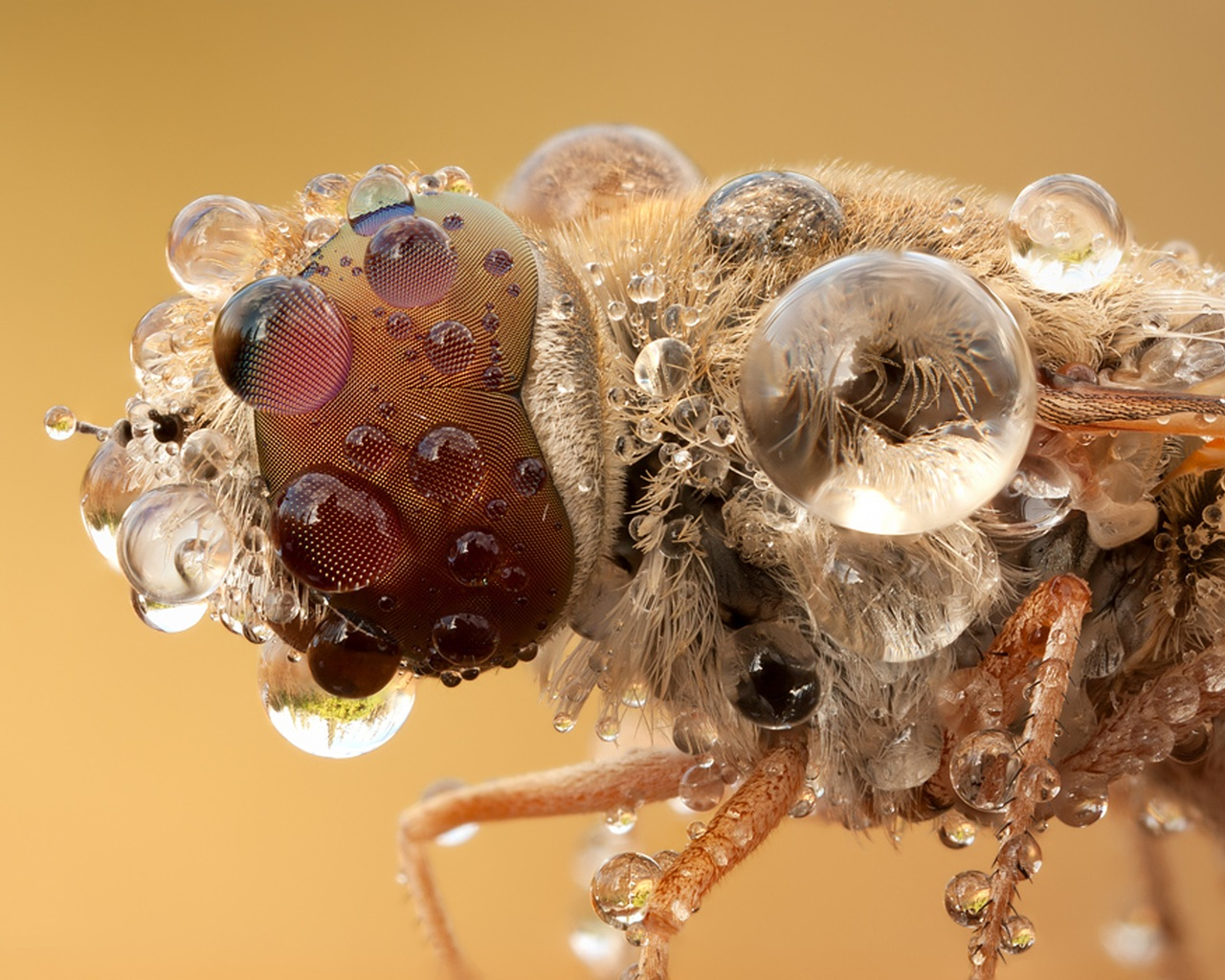 Macro Insect with Water Drops