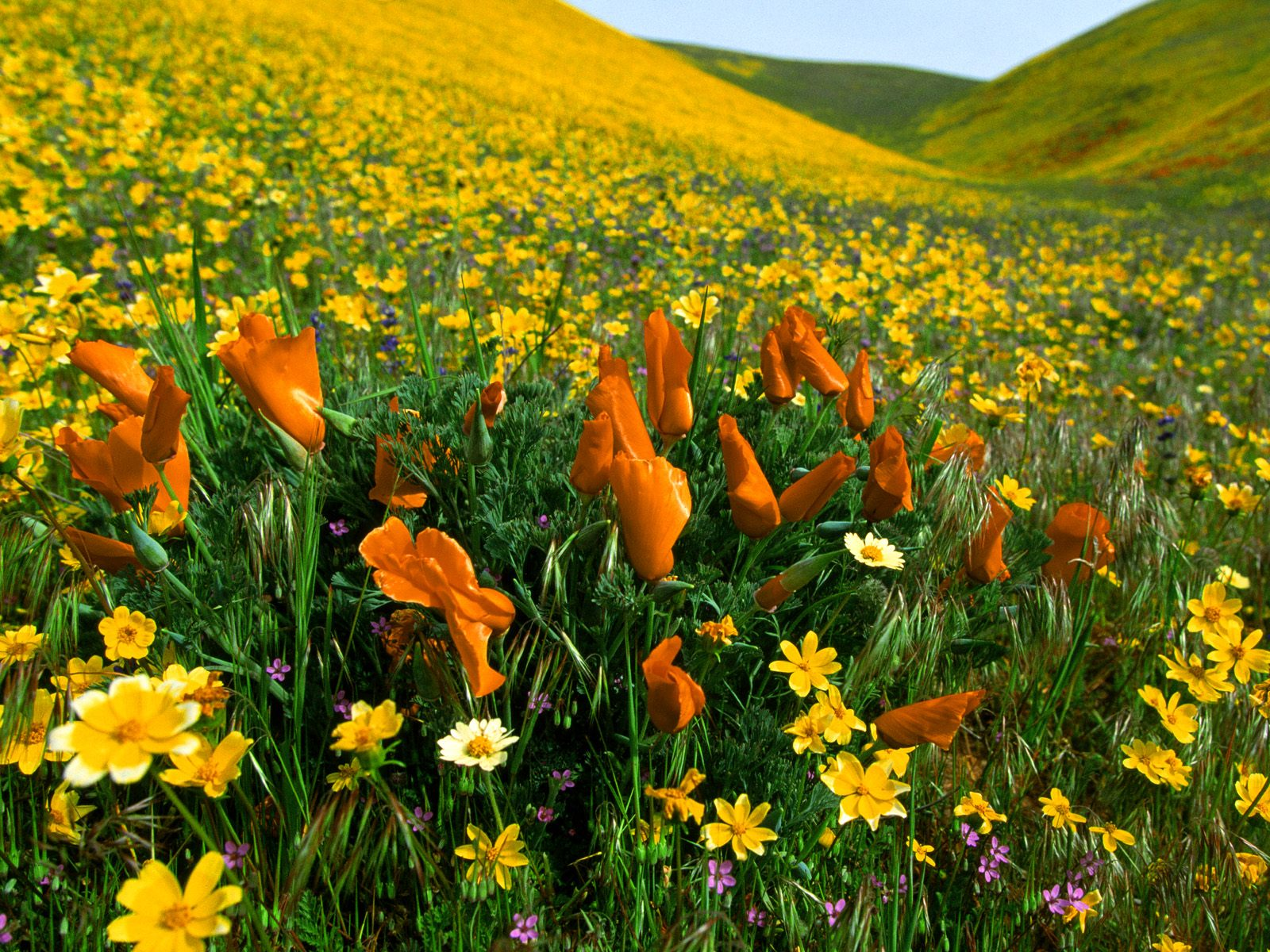 Poppies and Coreopsis