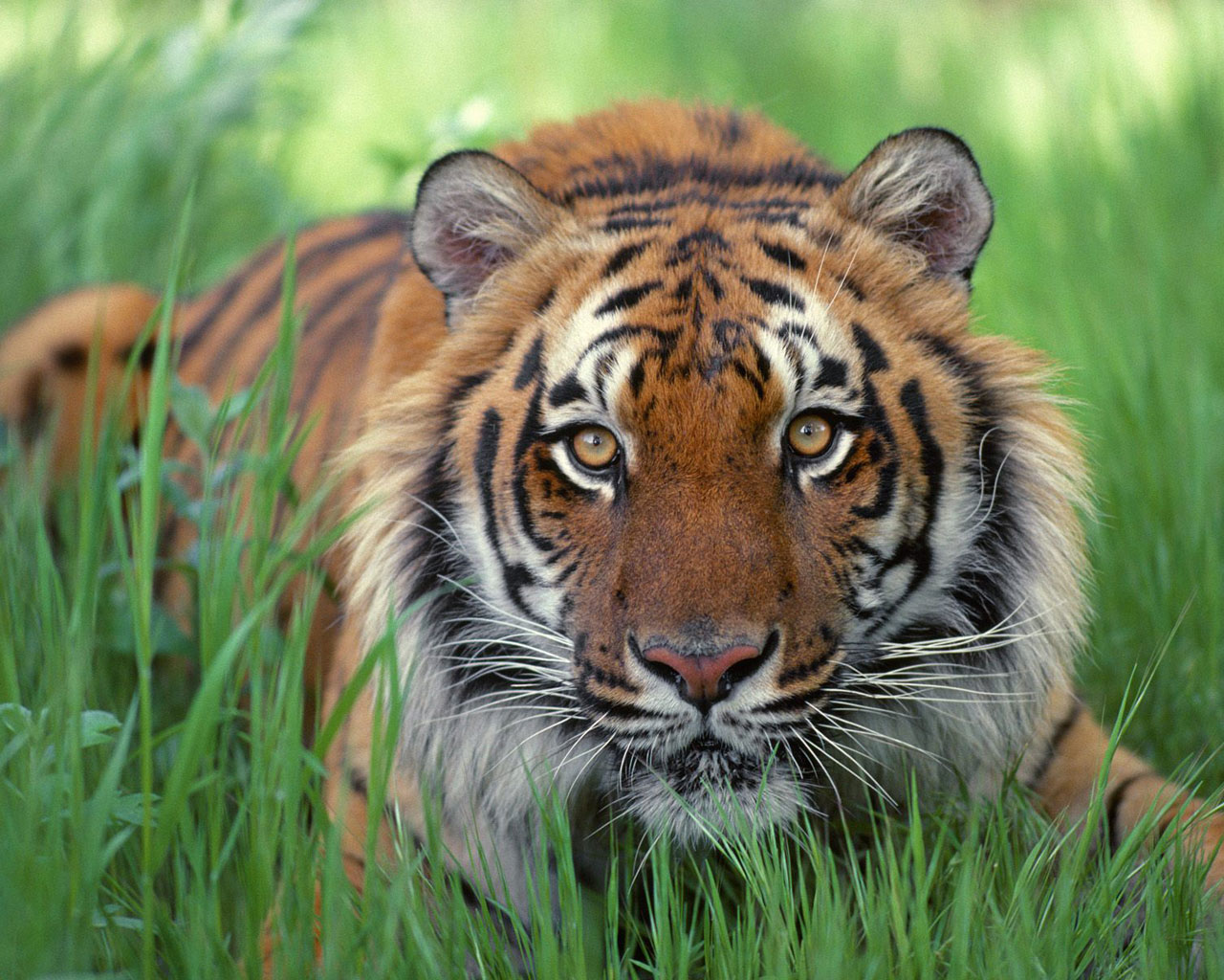 Watchful Eyes, Bengal Tiger
