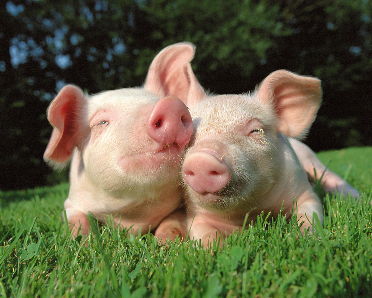 Pig brothers