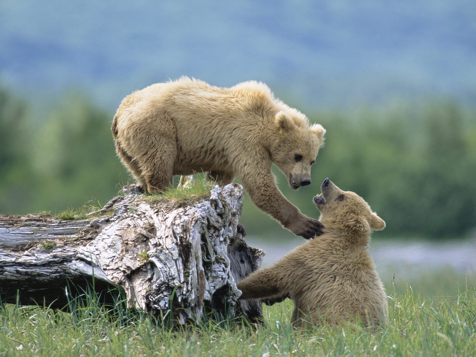 Grizzly Siblings at Play