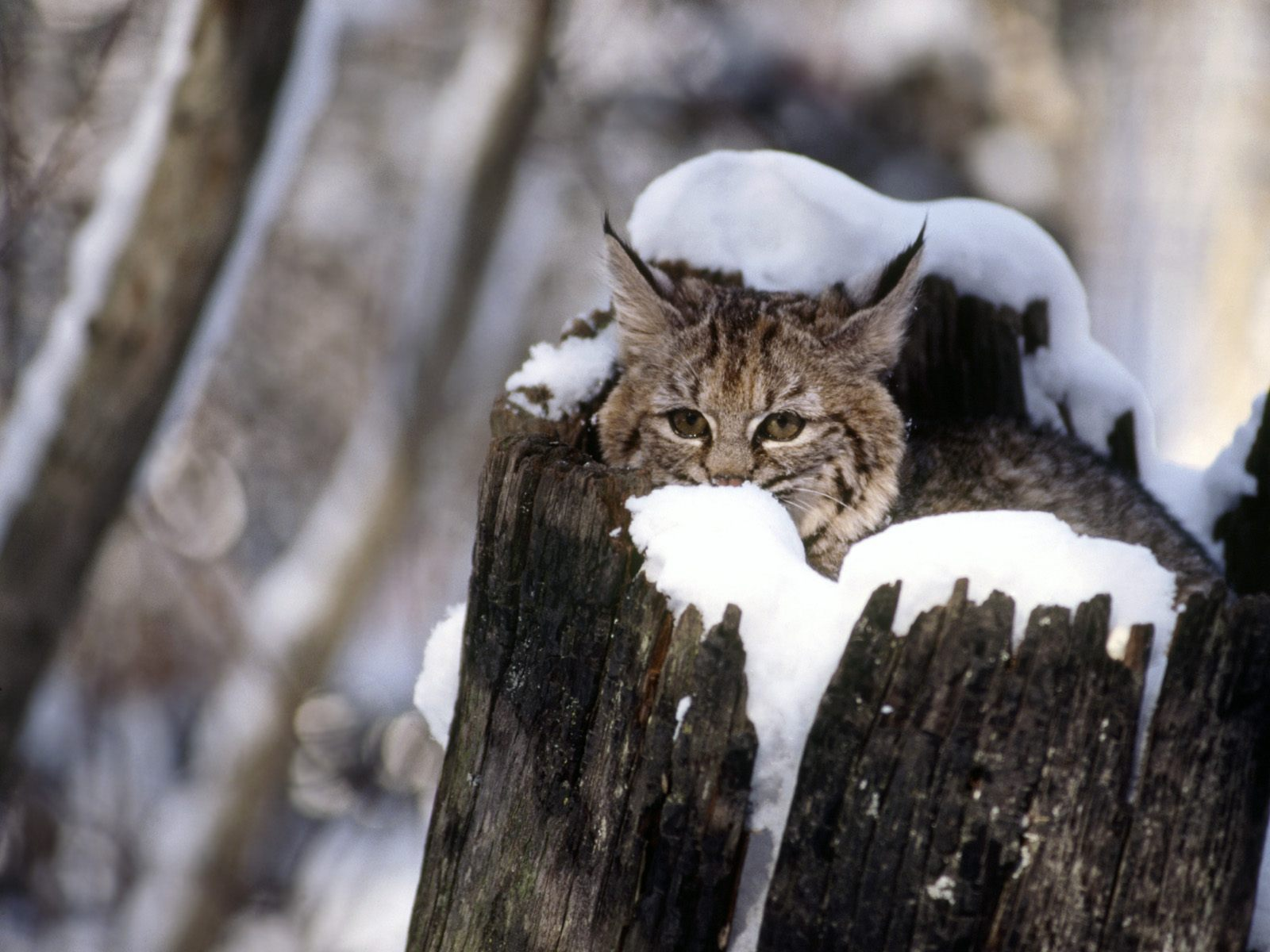 Bobcat Kitten Snow