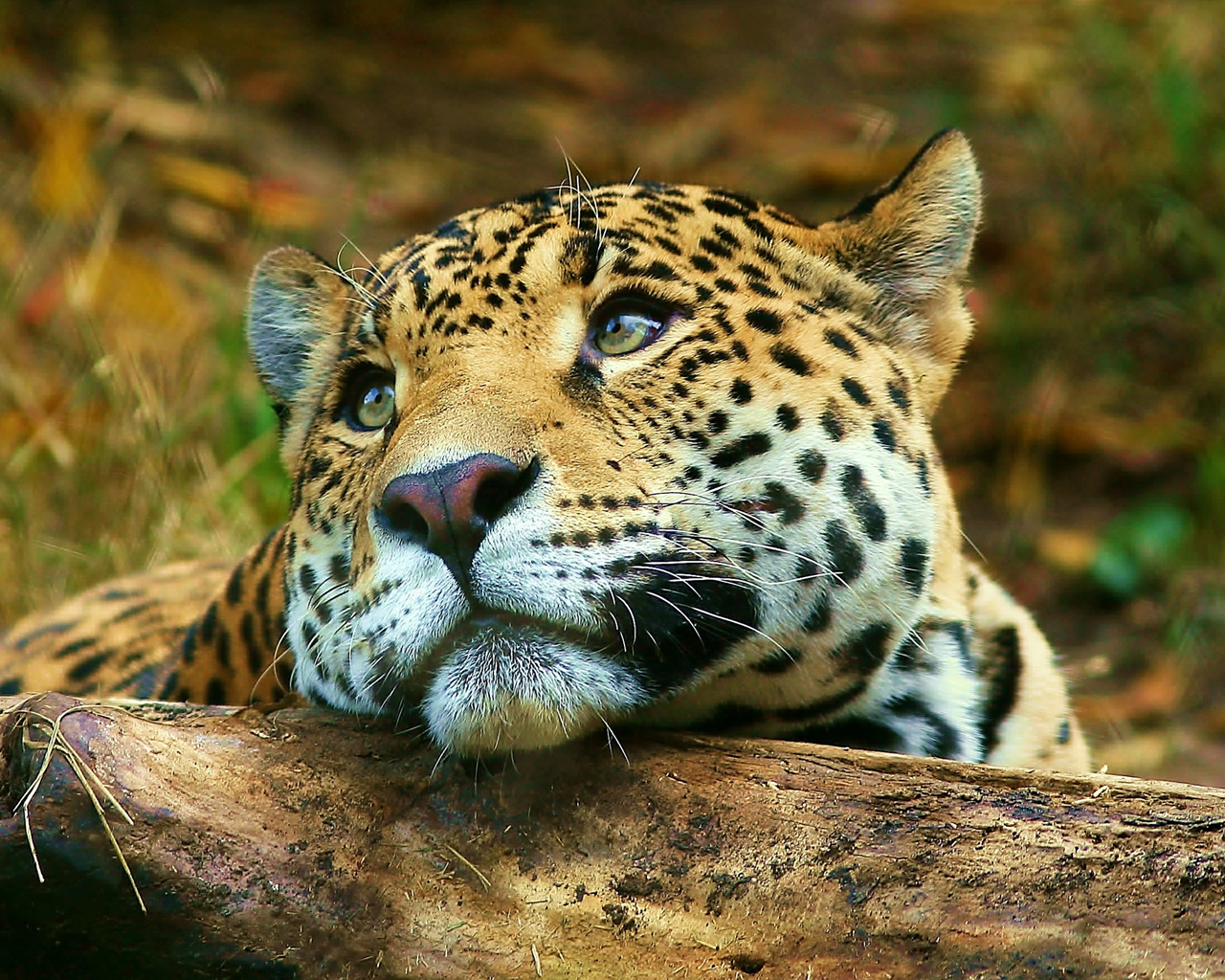 Leopard daydreaming