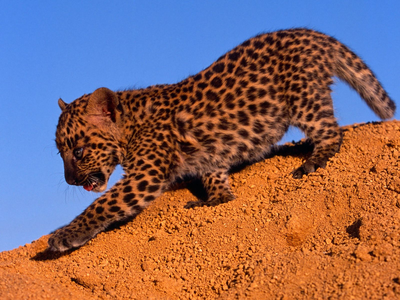 Spotted Leopard Cub