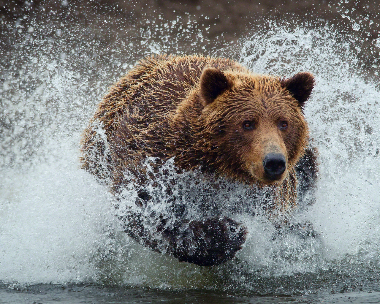 Bear Running in The River