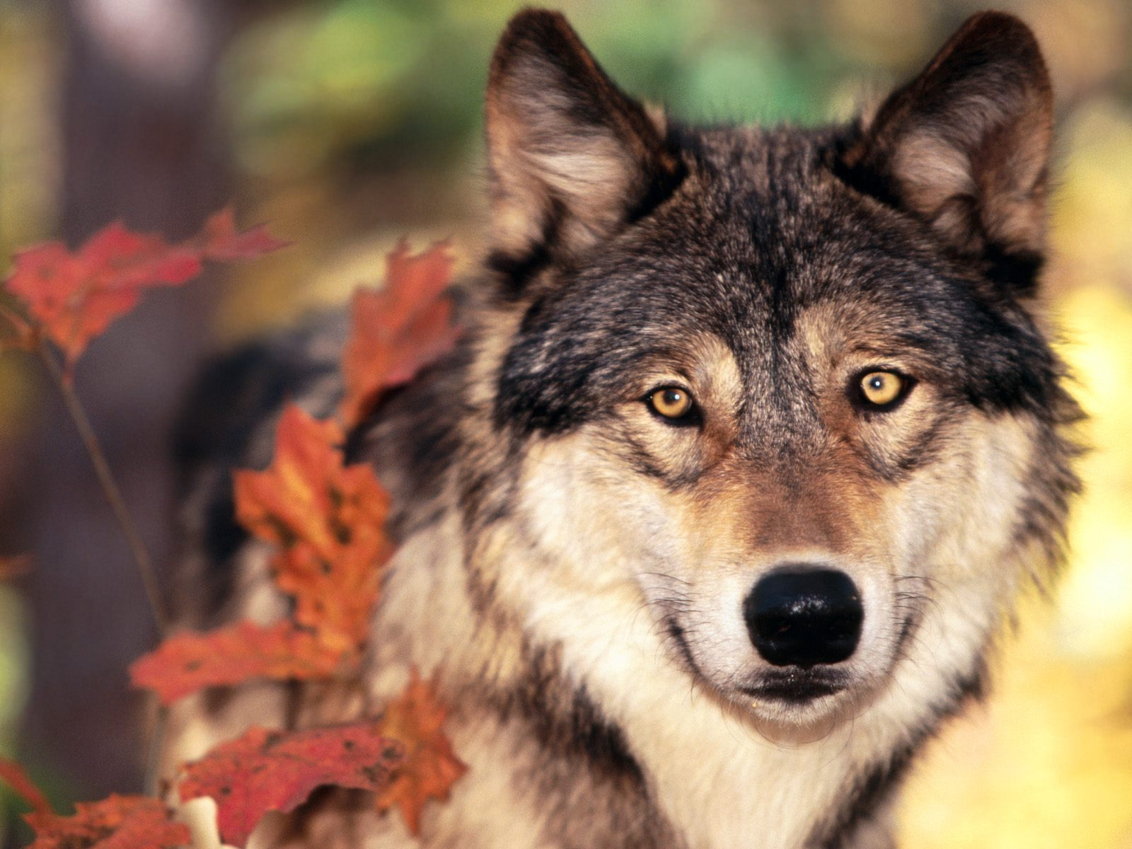 Wolf and Autumn Colors