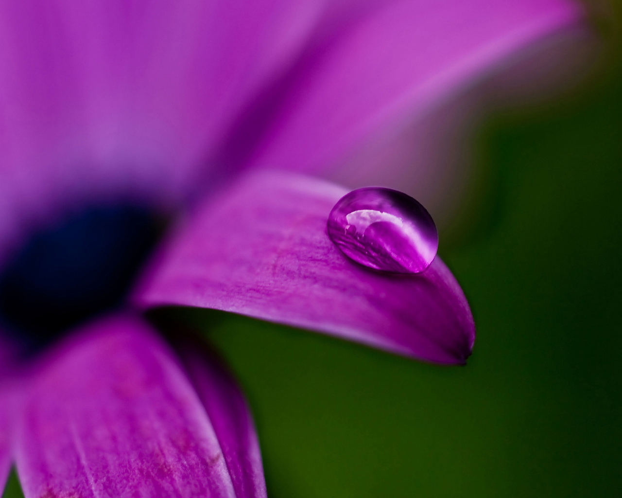 Water drop on purple flower
