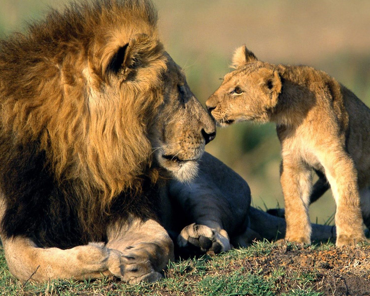 The love of a lion