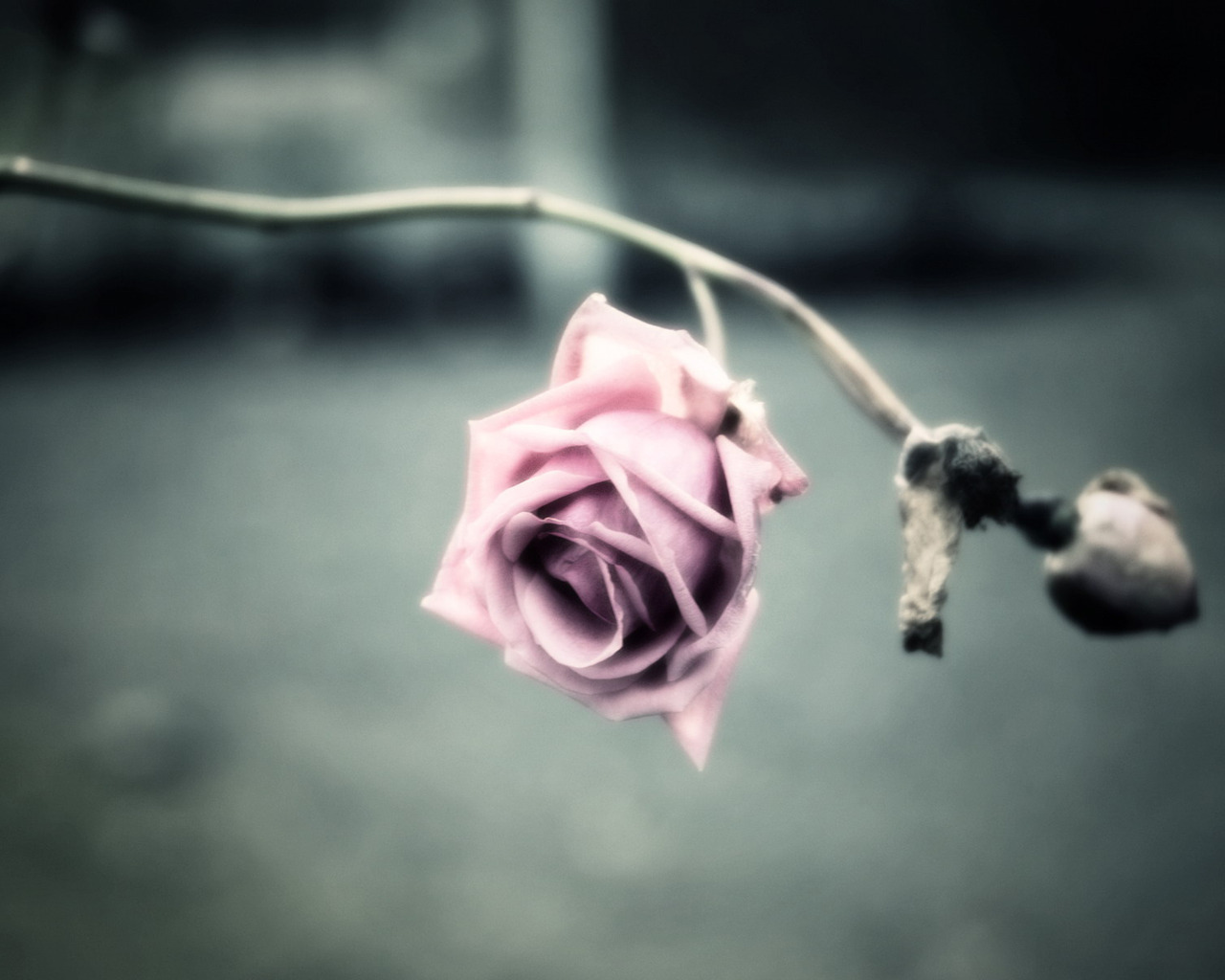 dried-pink-rose